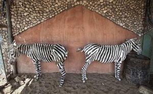 zebraasnar