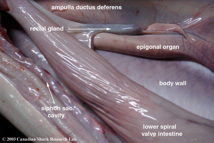 Photo showing the rectal gland and lower intestine of a porbeagle shark