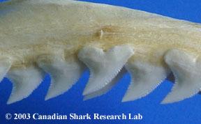 Blue shark teeth, upper set.
