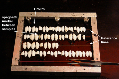 Otoliths positioned on reference lines in an embedding tray whose base coat of epoxy has been poured.