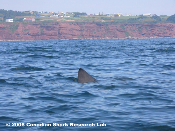 Photo of basking shark near Percé, Quebec. Photo courtesy of André and Joel Berthelot