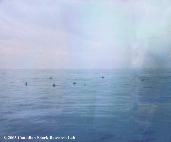 Image of basking sharks on the surface near Emerald Basin, photo courtesy of Patrick Gray