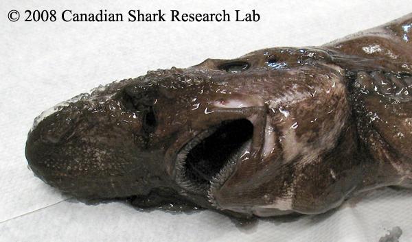 Deepsea Cat Shark Mouth