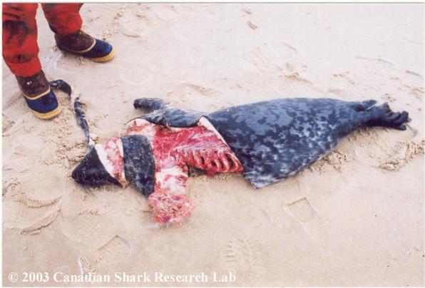 A common shark kill (grey seal).