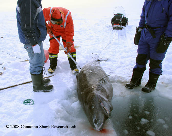 Attaching a satellite tag to a Greenland shark. The fishing hole cut through the ice is visible to the right of the shark.
