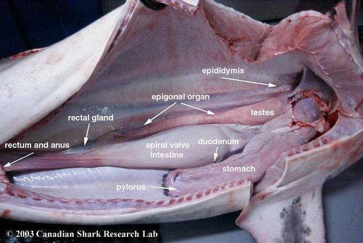 Photo showing the epididymis, epigonal organ, testes, duodenum, stomach, pylorus, spiral valve intestine, rectal gland, rectum, and anus of an adult male Porbeagle shark