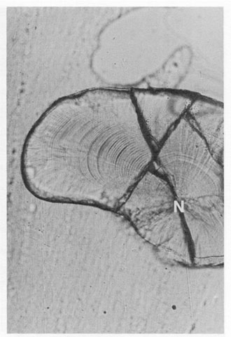 FIG. 10. Curvilinear growth axis in the lapillus of a juvenile flyingfish, Paraexocoetus brachypterus. There is no single straight line which can be drawn from the nucleus (N) to the otolith edge which will intersect a complete sequence of growth increments at right angles. However, all standard growth backcalculation procedures assume a linear backcalculation trajectory.