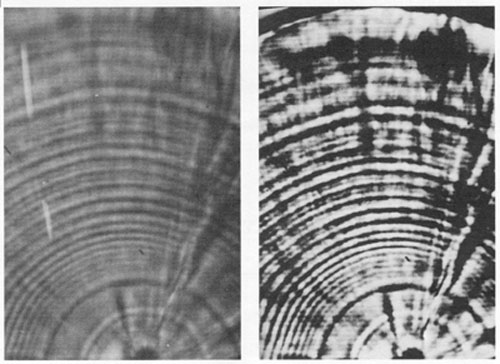 FIG. 2. Grey level expansion (right), with an image analysis system, of a poorly-contrasted light-microscopic view (left) of an otolith growth sequence, as photographed directly off of the video monitor. Both photographs were taken, developed and printed under identical conditions. Preparation of the enhanced video image took approximately 2 seconds. While grey level expansion is an effective means of enhancing contrast, other image analysis procedures can be used to further sharpen or filter an image.