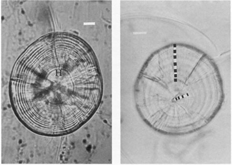 FIG. 4. Daily increments can often be differentiated from similar-appearing structures by their location on the otolith and by species-specific characteristics. (left) Daily increments encircling the hatch check (H) of a polished haddock sagitta are narrow and weakly expressed for the first 10-20 d after hatch, but broaden as the postlarval and juvenile stage is entered. Many of the perinuclear daily increments visible under greater magnification with the light microscope are not evident in this photograph, which shows only 24 of the total of 39 increments from a 8.35 mm larva. Bar = 10 µm. (right) In contrast to the haddock sagitta, the lapillus from an 11-d old walleye larva has broad daily increments almost from the date of hatch. Broad increments such as these are also characteristic of many tropical fish otoliths. In such cases, low magnifications (300-500X) may be most appropriate for the examination. Bar = 20 µm.