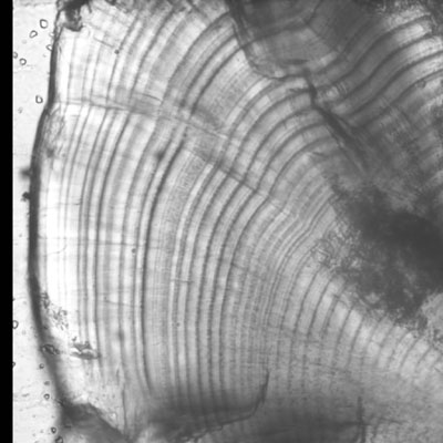 A properly polished otolith. Daily increments are prominent and appear to have some depth as the microscope focus is moved. Subdaily increments are apparent, but easily distinguished from daily increments.