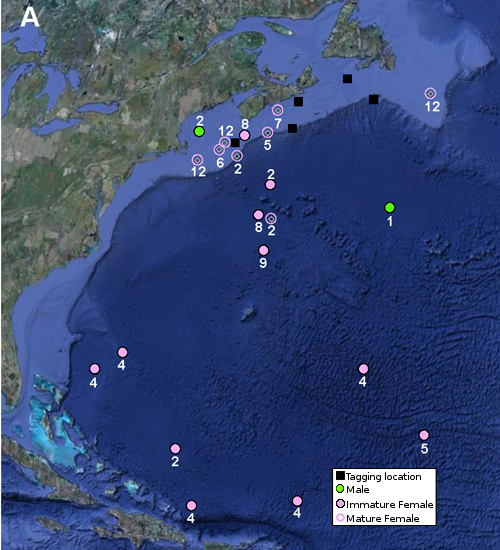 Map showing tagging and popup locations for 21 porbeagles tagged off the eastern coast of Canada. Male and immature female sharks stayed north of latitude 37°N, while all mature females migrated to the Sargasso Sea by April. Month of popup indicated by number.