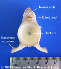 The vertebra of a porbeagle shark after it has been removed from the animal and the surrounding tissue removed. Some of the annular growth rings are visible on the face of the centrum.