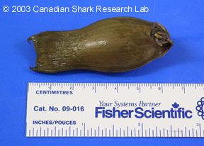 The egg case of a deepsea cat shark (as seen above).