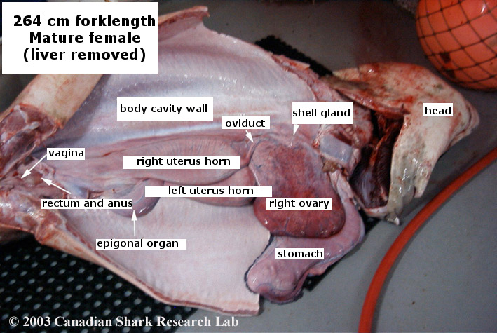 internal anatomy of a mature female porbeagle shark