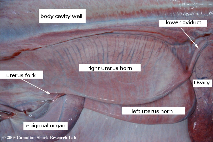 A close up view of the uterus of a porbeagle.