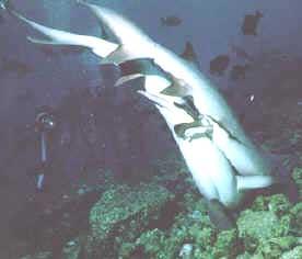 Photo modified from Sharks, Editor John D. Stevens. 1987. Facts on File Inc. New York, NY.