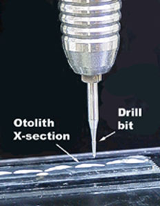 Close up of the Micromill drill bit and an otolith cross section.