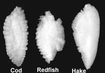 Otoliths from cod, redfish, and hake.