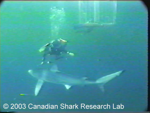Frame from video footage showing blue shark swimming past scuba diver. A shark cage is visible in the background. Photo courtesy of Chris Jensen