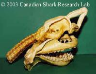 A shark skull