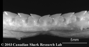 Upper and lower teeth from a spiny dogfish. Note the strong oblique shape.