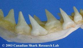 Blue shark teeth, lower set.